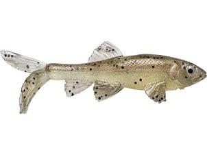 Little Creeper All American Trash Fish Swimbaits 2pk